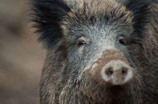 Drei Wildschweine haben in der Nacht auf Samstag bei Unfällen ihr Leben gelassen. Foto: dpa